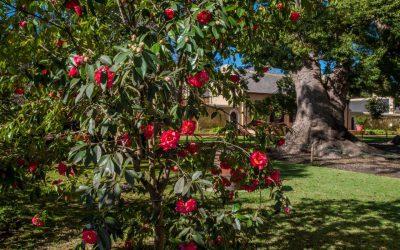 Blooming great at Vergelegen